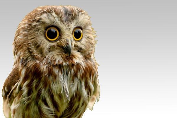 1050x400 Vegetarian Society Owl